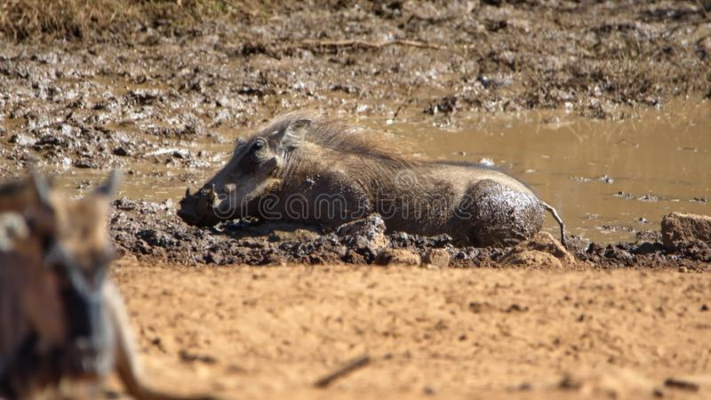 Warthog wallowing in a watering hole stock photo