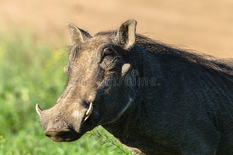 Warthog Wildlife royalty free stock photography