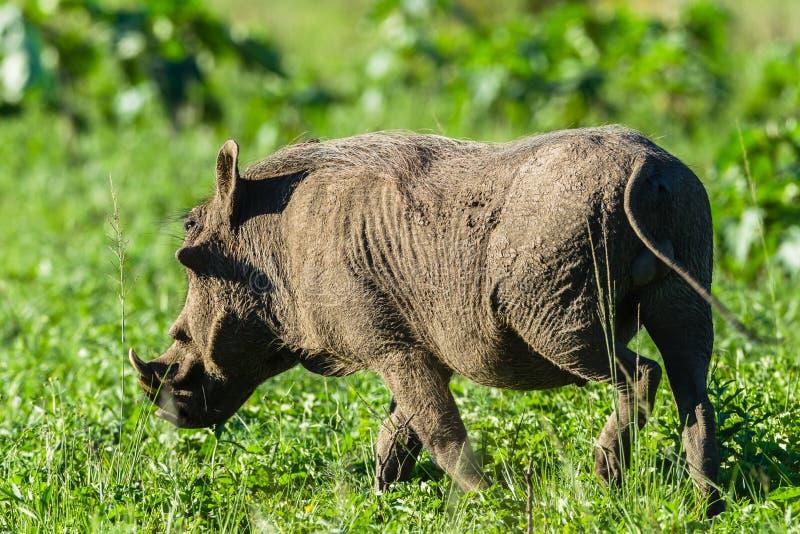 Warthog Wildlife stock photo