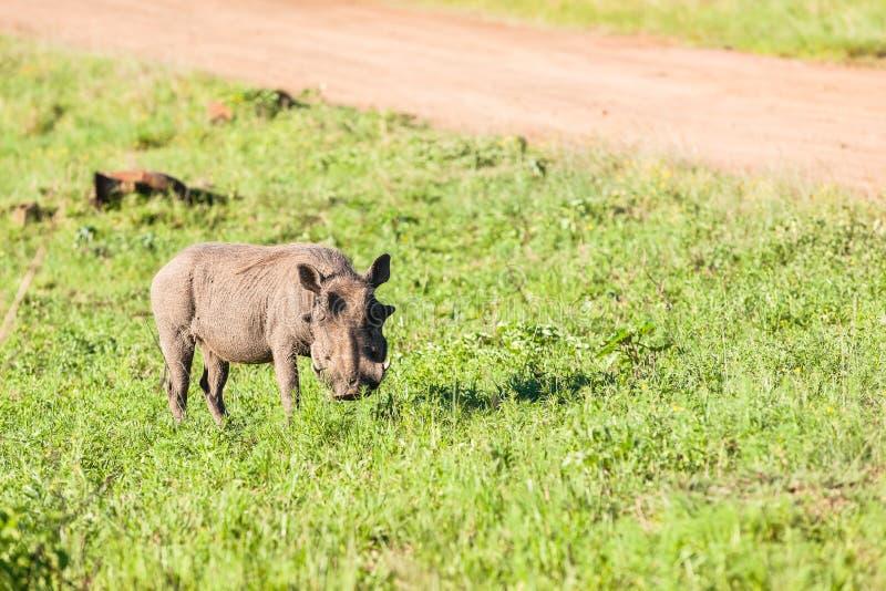 Warthog Wildlife royalty free stock photos