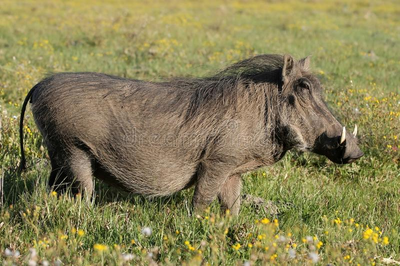 Download Warthog And Yellow Flowers Royalty Free Stock Photos - Image: 16230948