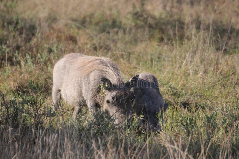 Warthog with young cub. stock images