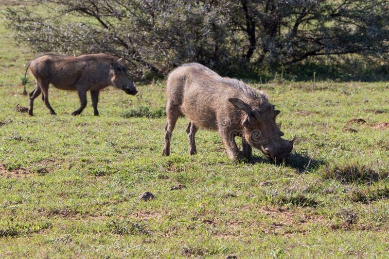 Warthogs在草吃草 免版税库存图片