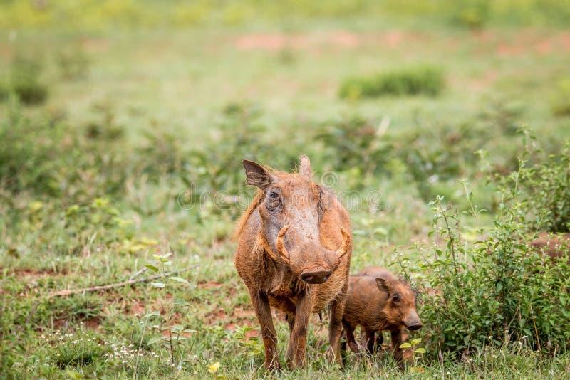 Warthogs家庭用在草的婴孩小猪 图库摄影