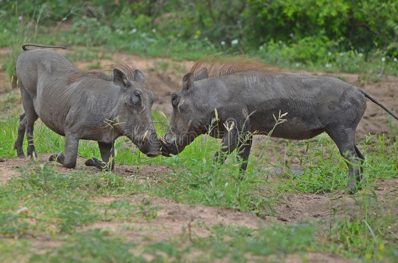 Warthogs用头撞 库存照片