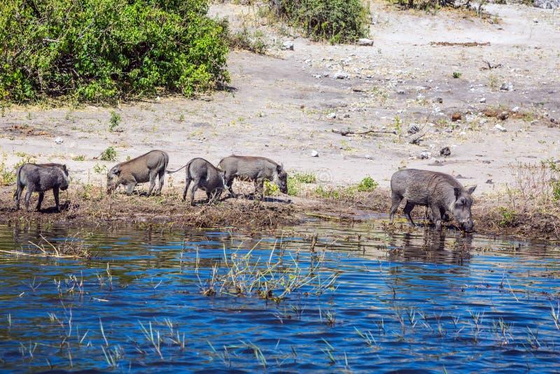 ?? warthogs στοκ εικόνες