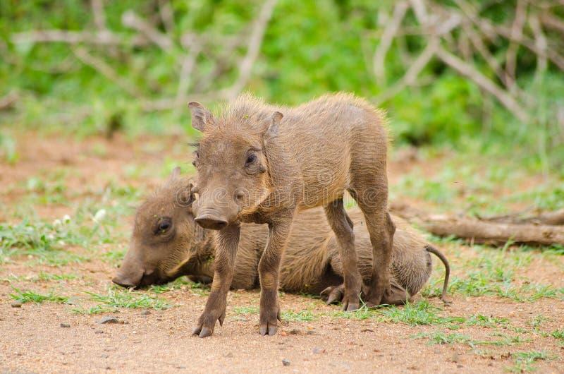 2 warthogs младенца стоковая фотография