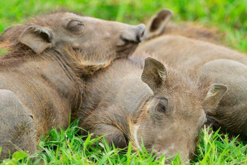 warthogs спать травы младенца стоковые фото