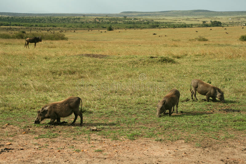 Warthogs royalty free stock images