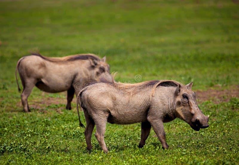 warthogs royaltyfria bilder