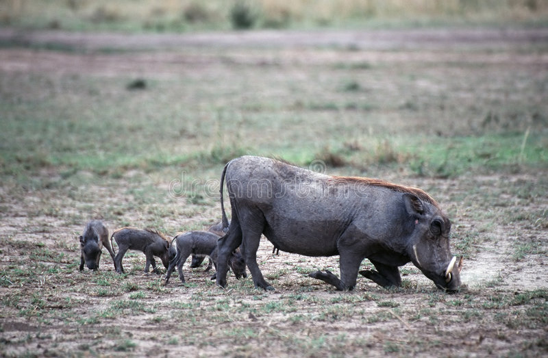 Warthogs Fotografie Stock Libere da Diritti
