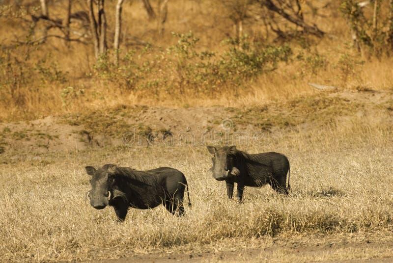 warthogs bush стоковое фото