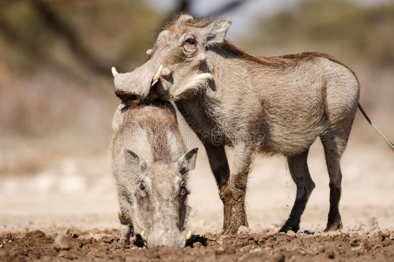 Warthogs drinking. Warthogs drink at a warterhole in the desert royalty free stock images