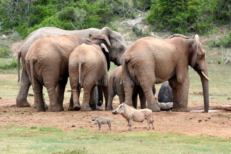 Warthogs em frente à manada de elefantes imagens de stock royalty free