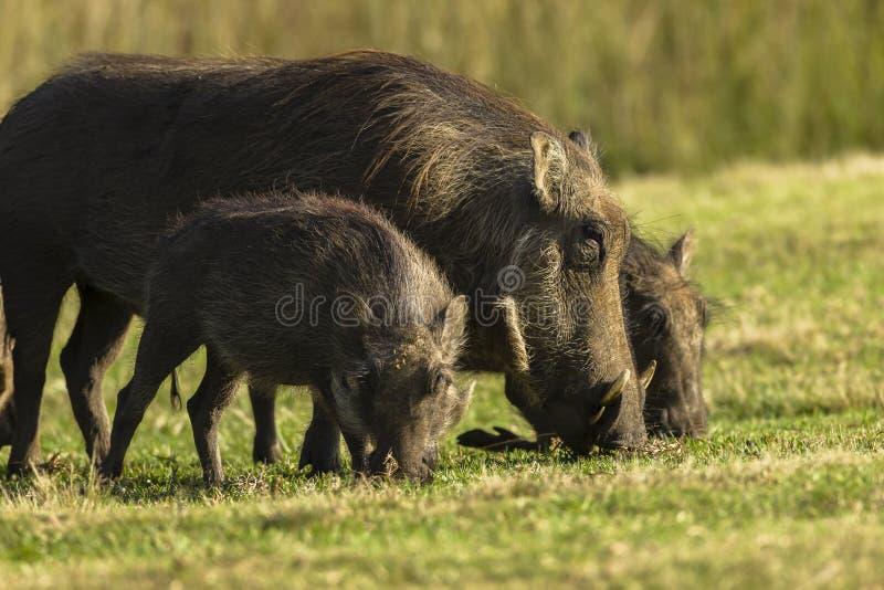 Warthogs Family stock photos