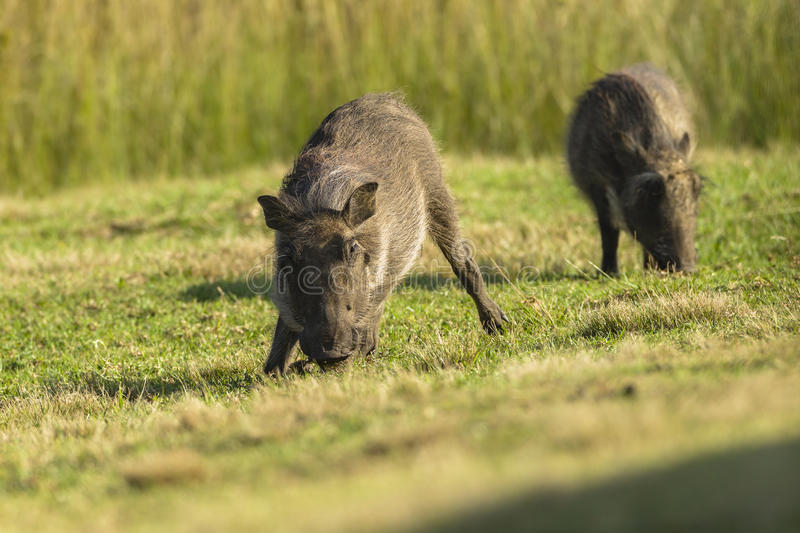Warthogs Family stock images