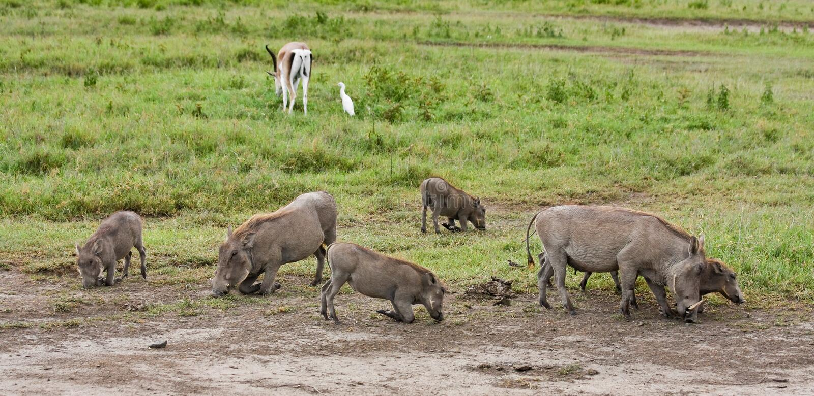 Download Warthogs Feeding stock image. Image of grey, conservation - 10145283