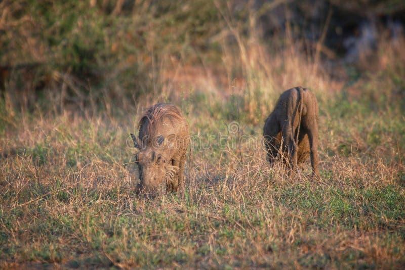 Warthogs in het Nationaal Park Kruger royalty-vrije stock afbeeldingen