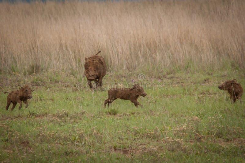 Warthogs Nambiti obrazy royalty free