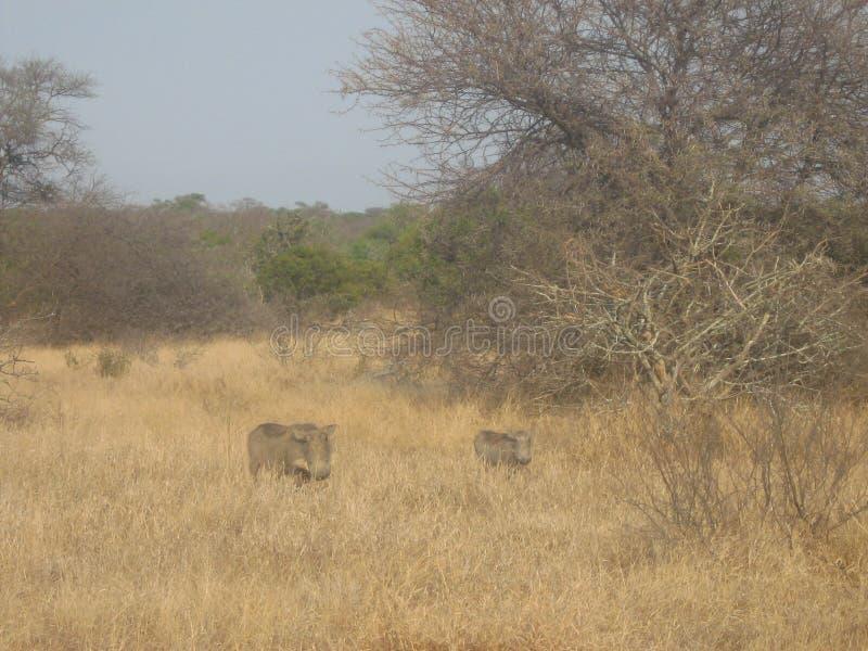 Warthogs royalty free stock image