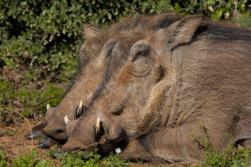 Warthogs sleeping stock images