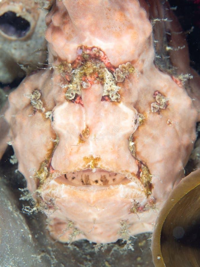 Warty frogfish, Antennarius maculatus. Lembeh, North Sulawesi. Pink warty frogfish or clown frogfish, Antennarius maculatus, waiting to ambush prey. Lembeh stock photos