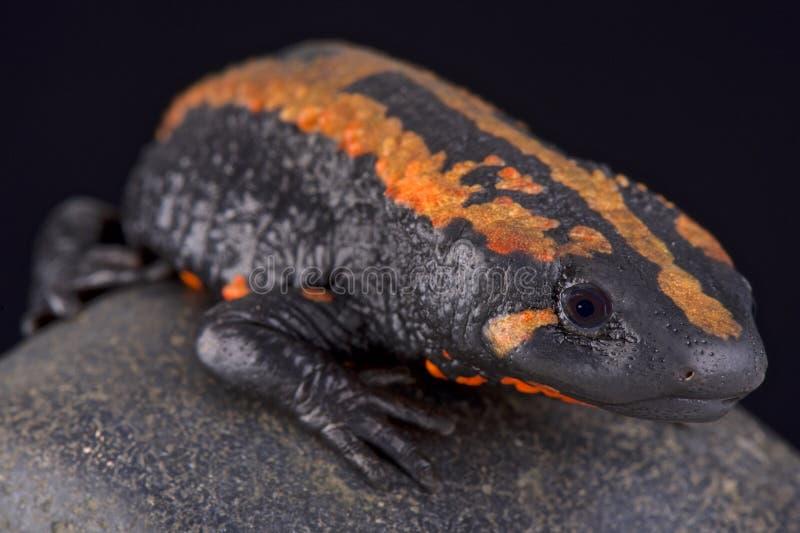 Warty newt van Laos (Laotriton-laoensis) stock foto's