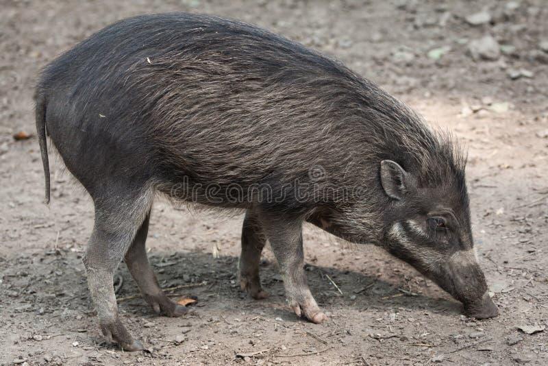 Warty Schwein des Visayan u. x28; Sus cebifrons& x29; stockbilder