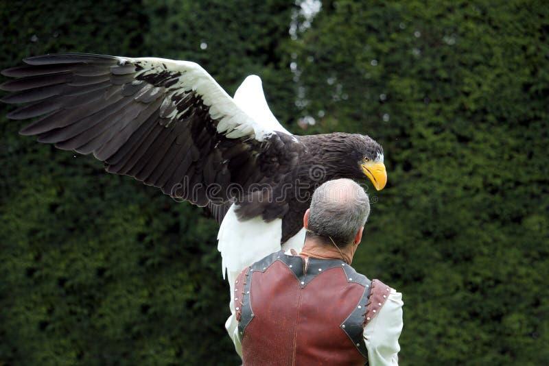 Warwick, R-U - 17 septembre 2017 : Un fauconnier avec son Se de Stellers images stock