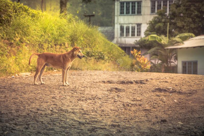 Wary dog on rural road in Sri Lanka. Wary domestic dog on rural road in Sri Lanka royalty free stock photo