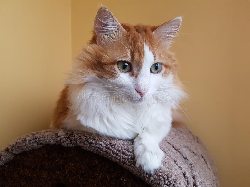 A wary fluffy red and white cat. Lies on a soft stand. Cat portrait royalty free stock photos