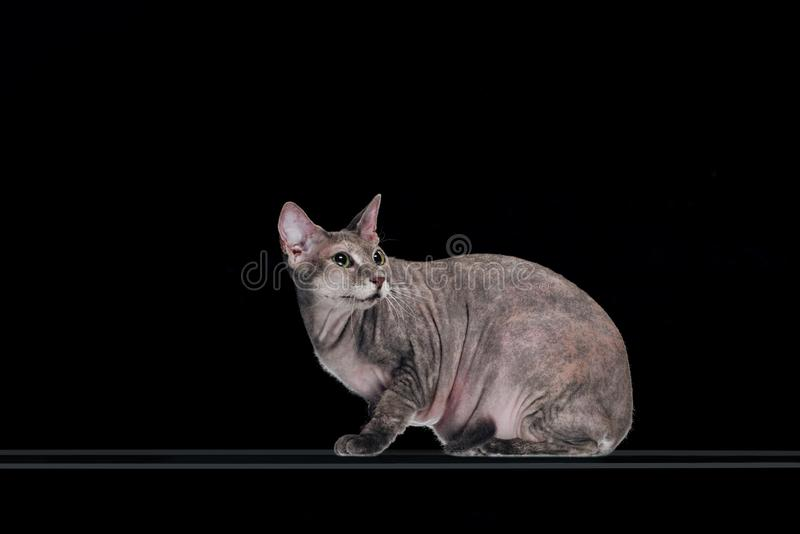 Wary grey sphynx cat looking away. Isolated on black stock images