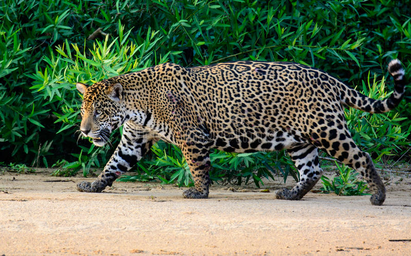Wary Jaguar on the move. Wary Jaguar walking across the beach stock photo