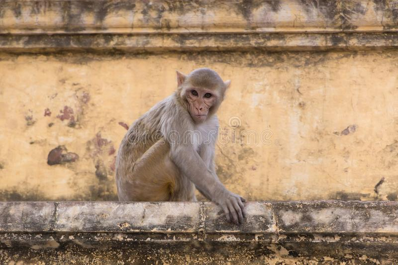 Wary monkey sitting on old house in Jaipur. India royalty free stock photography