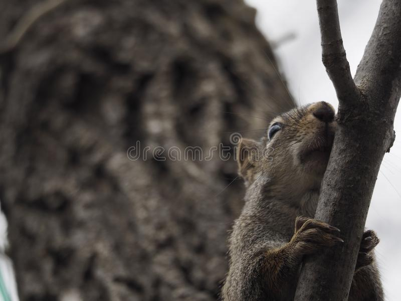 Wary Northern Red squirrel watching from above. Wary Northern Red squirrel looking down from a tree branch royalty free stock photo