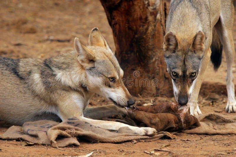 wary wolves royaltyfria foton