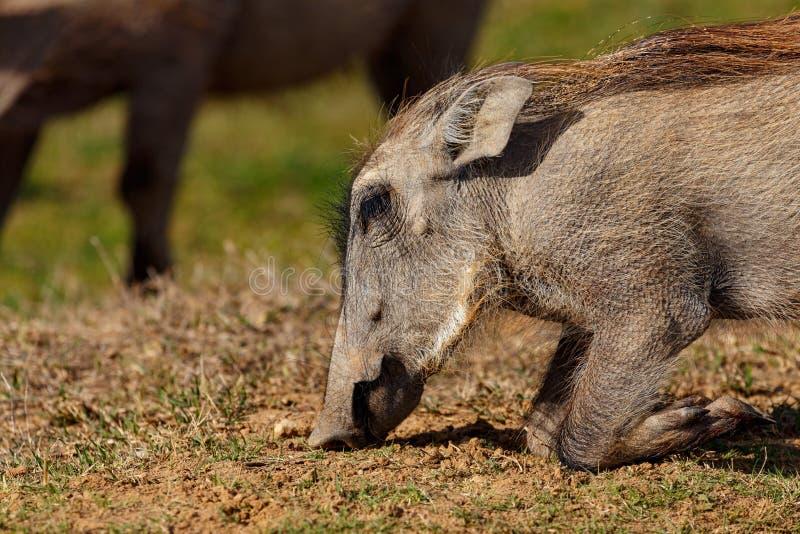 Warzenschwein, das unten aus den Grund knit stockbilder