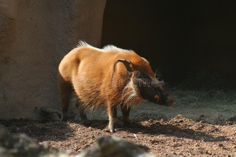 Warzenschwein im Sonnenlicht stockbilder