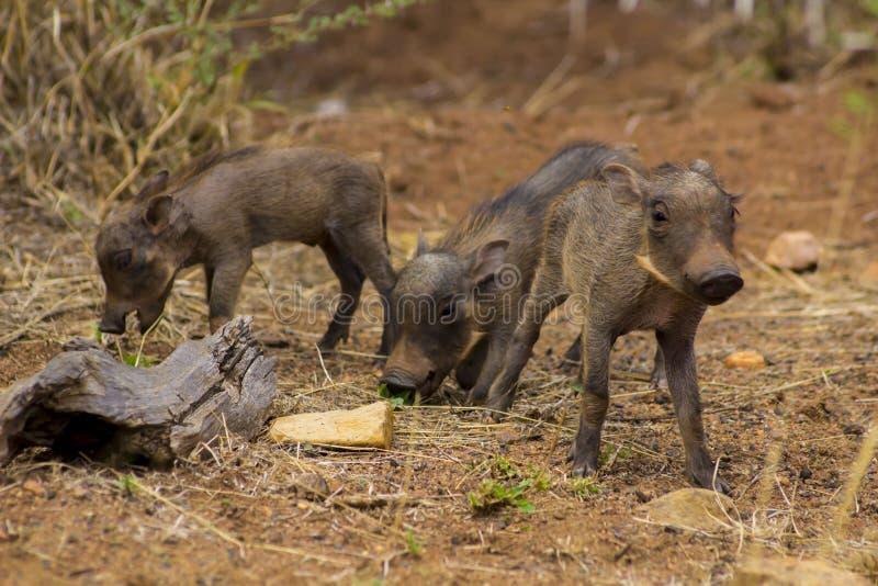 Warzenschweinbabys, die herum gehen lizenzfreie stockfotos