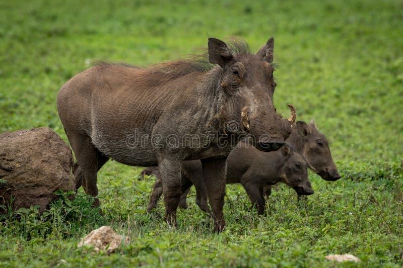 Warzenschweinmutter mit zwei Babys neben Felsen stockbilder