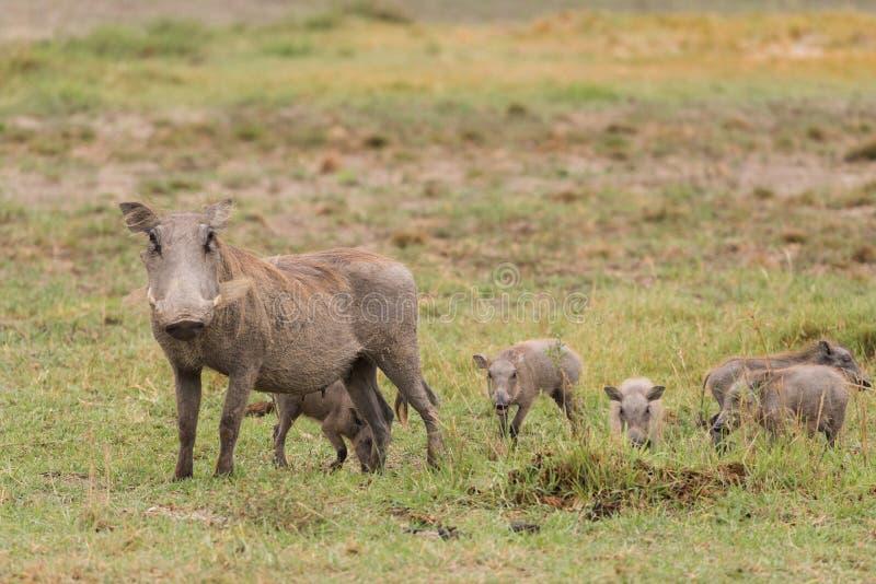 Warzenschweinmutter und -babys stockfotografie