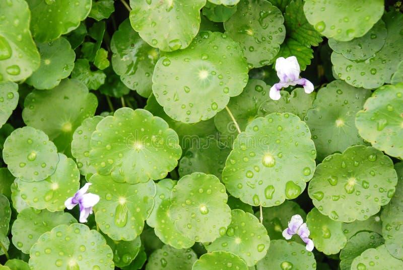 Warzywa świeży zielony tło i krople woda na liściach po deszczu fotografia royalty free