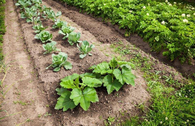 Warzywa dorośnięcie przy ogródem zdjęcia stock