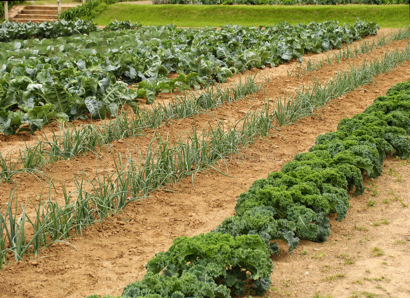 warzywa ogrodu zdjęcia royalty free