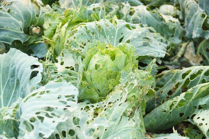 Warzywa uszkadzający zarazy chorobą fotografia royalty free