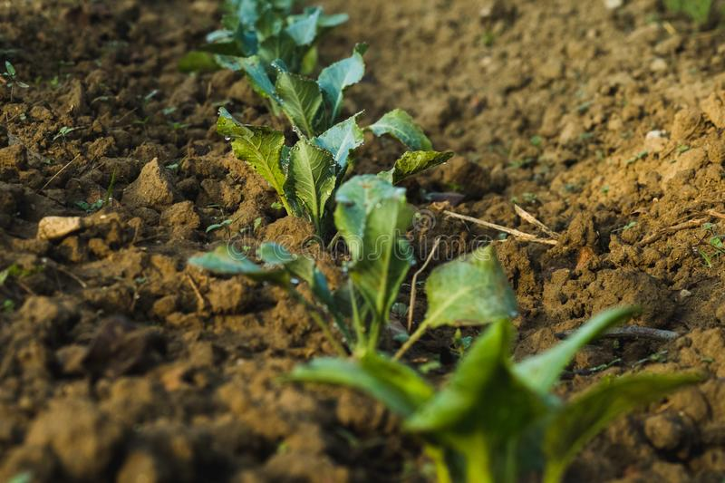 Warzywa w nasz gospodarstwie rolnym podczas wschodu słońca obraz stock