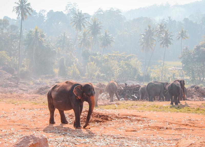 The leader Elephant in Pinnawala stock images