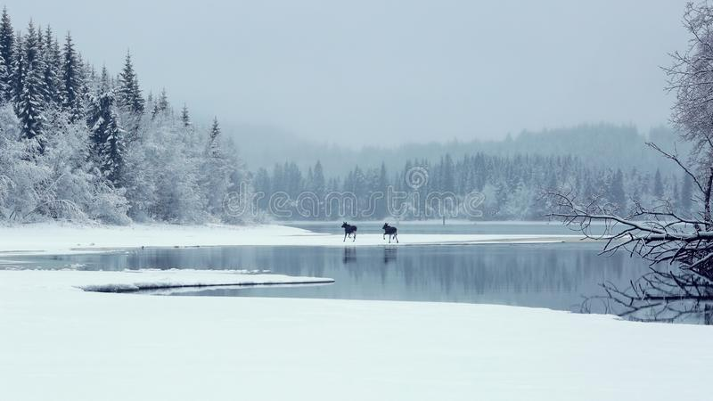 Rainy foggy Christmas at the lake Selbu, Norway. It was rainy and foggy Christmas, the weather was warm and humid. I walked with my dog and two moose suddenly stock image