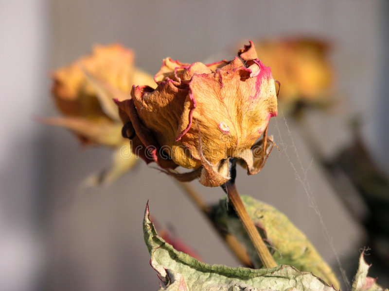 Was a rose... royalty free stock photography