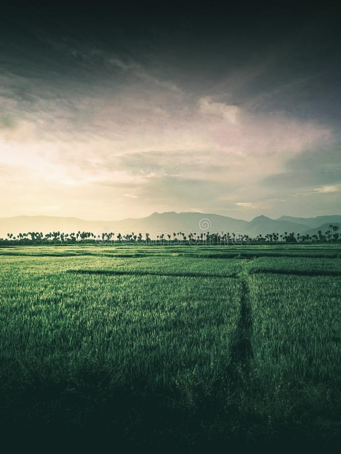 Moody image of rice field stock images